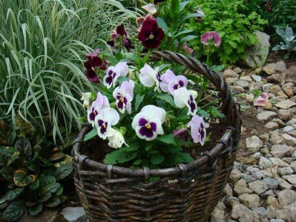 wicker plant pot