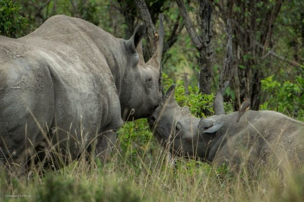 Save Rhinos From Going Extinct