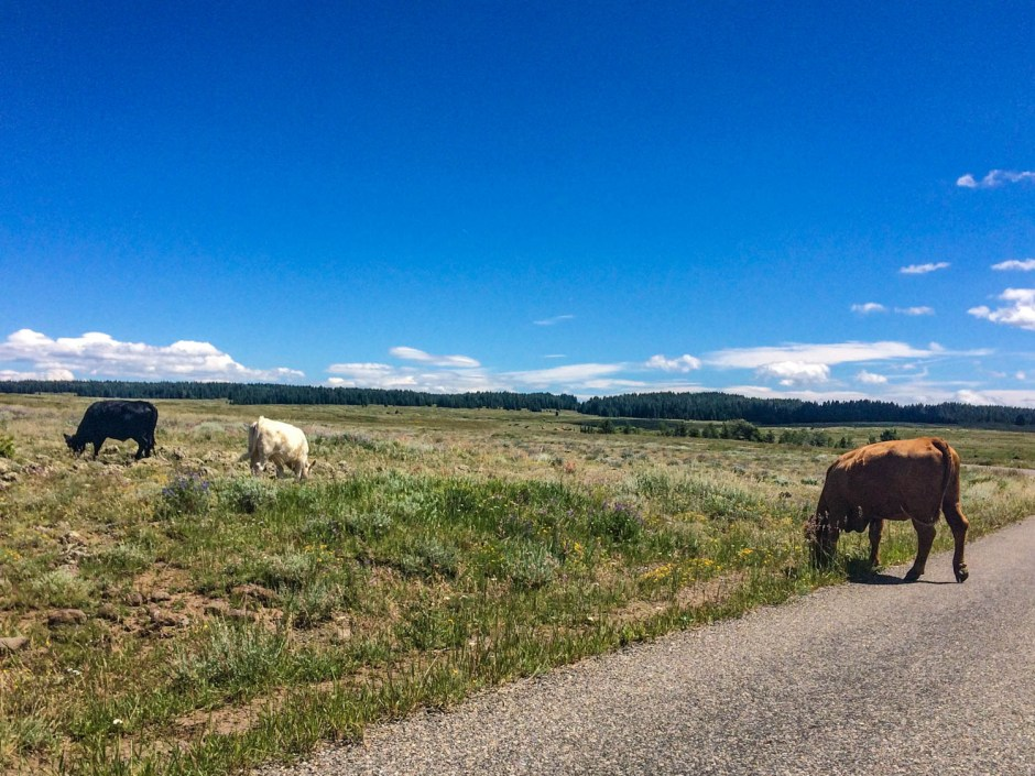 Cow Crossing - Grand Mesa National Forest Lands End Road