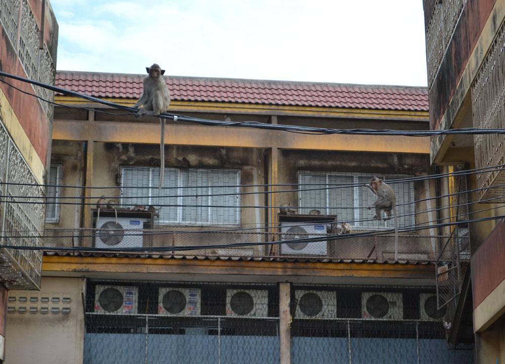 Monkeys Climbing Buildings, Lopburi Monkey Town in Thailand, Southeast Asia