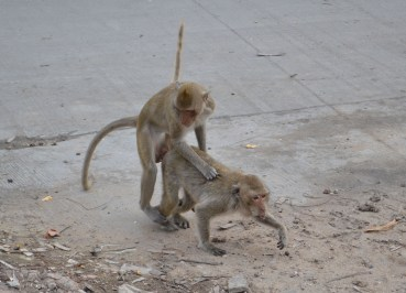 Monkeys Humping Roadside, Lopburi Monkey Town in Thailand, Southeast Asia