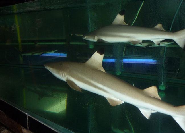Blacktip Reef Sharks, Animal Cruelty, Pets at JJ Market Bangkok