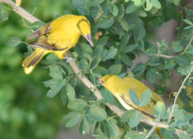 New Years Day in Bangkok - Birds Yelling - Black Naped Oriole