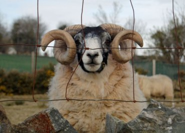 Ram Sheep, Tollymore Forest Park, Top 10 Northern Ireland Attractions
