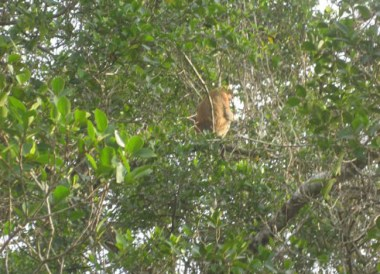 Proboscis Monkey in Borneo, Where to Find Monkeys in Southeast Asia?