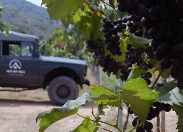 Ripe Muscat Grapes, Hua Hin Hills Vineyard, Thailand, Southeast Asia