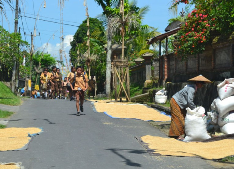 Bali Rice Harvest, Escape Tourism in Ubud Cultural Capital of Bali