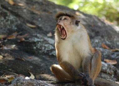 Bonnet Macaque Ella, South Sri Lanka Tour, Independent Travel Asia
