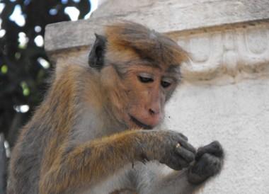 Bonnet Macaque Kandy, South Sri Lanka Tour, Independent Travel Asia