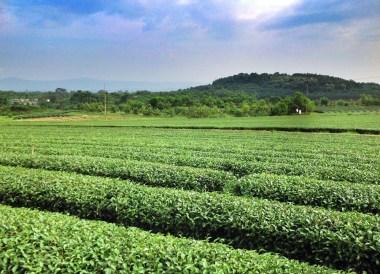 Chiang Rai Tea Plantation, Top 10 Chiang Rai Attractions, Northern Thailand