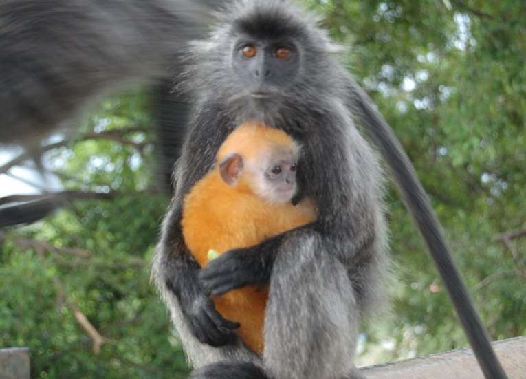 Ginger Baby Langur, Where to Find Monkeys in Southeast Asia?
