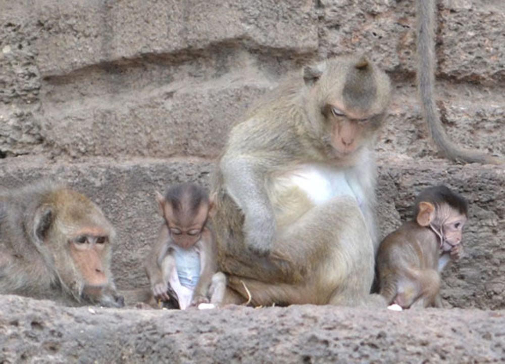 Cute Baby Monkies, Lopburi Monkey Temple in Thailand, Southeast Asia