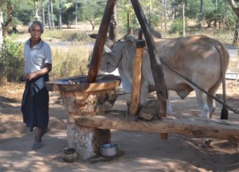 Buffalo Working Palm Mill, Making Palm Wine in Burma, Potent Acohol from Palm Trees