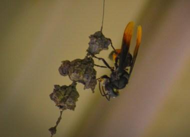 Banded Hornet, Ulu Ulu Resort, Temburong National Park Brunei Borneo