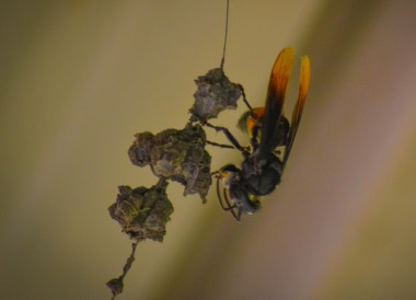 Banded Hornet in Brunei, Phobias in Borneo Rainforests