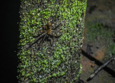 Huntsman Spider, Ulu Ulu Resort, Temburong National Park Brunei Borneo