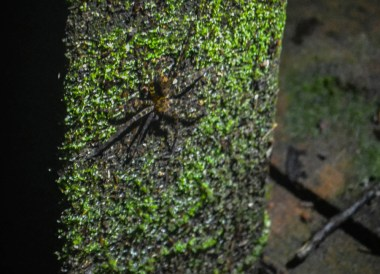 Huntsman Spider in Brunei, Phobias in Borneo Rainforests