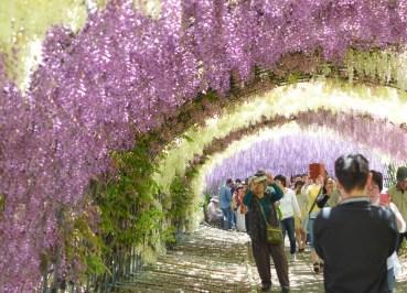 Wisteria Tunnel, 2 Week JR Pass, Japan Train Travel