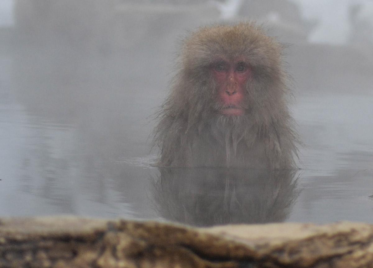Snow Monkey Onsen, JR Japan Rail Pass Travel in Winter February Snow