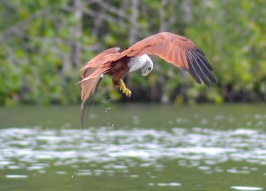 Eagle Feeding, Langkawi Geoforest Park Tour Kilim, Resorts World