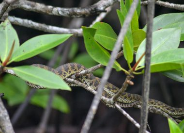 Pit Viper Snake, Langkawi Geoforest Park Tour Kilim, Resorts World