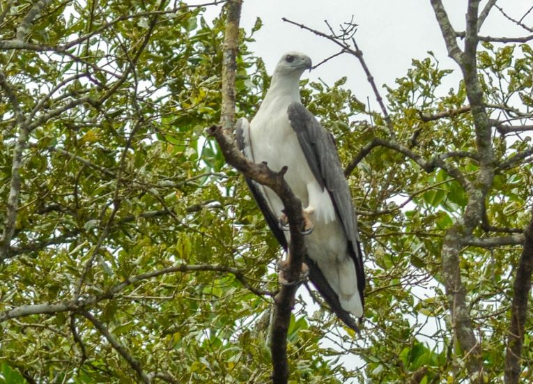 White Bellied Sea Eagles, Langkawi Geoforest Park Tour Kilim, Resorts World