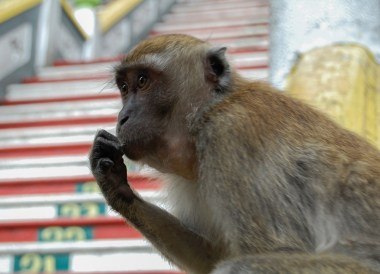 Monkey at Batu Caves, Top 10 Attractions in Kuala Lumpur Malaysia