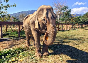 elephant nature park, Best Things to do in Northern Thailand