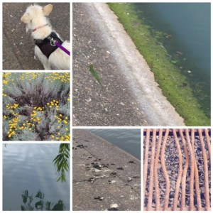 morning walk: Mops, pond scum, bbq grate, goose poop, weeping willow reflection