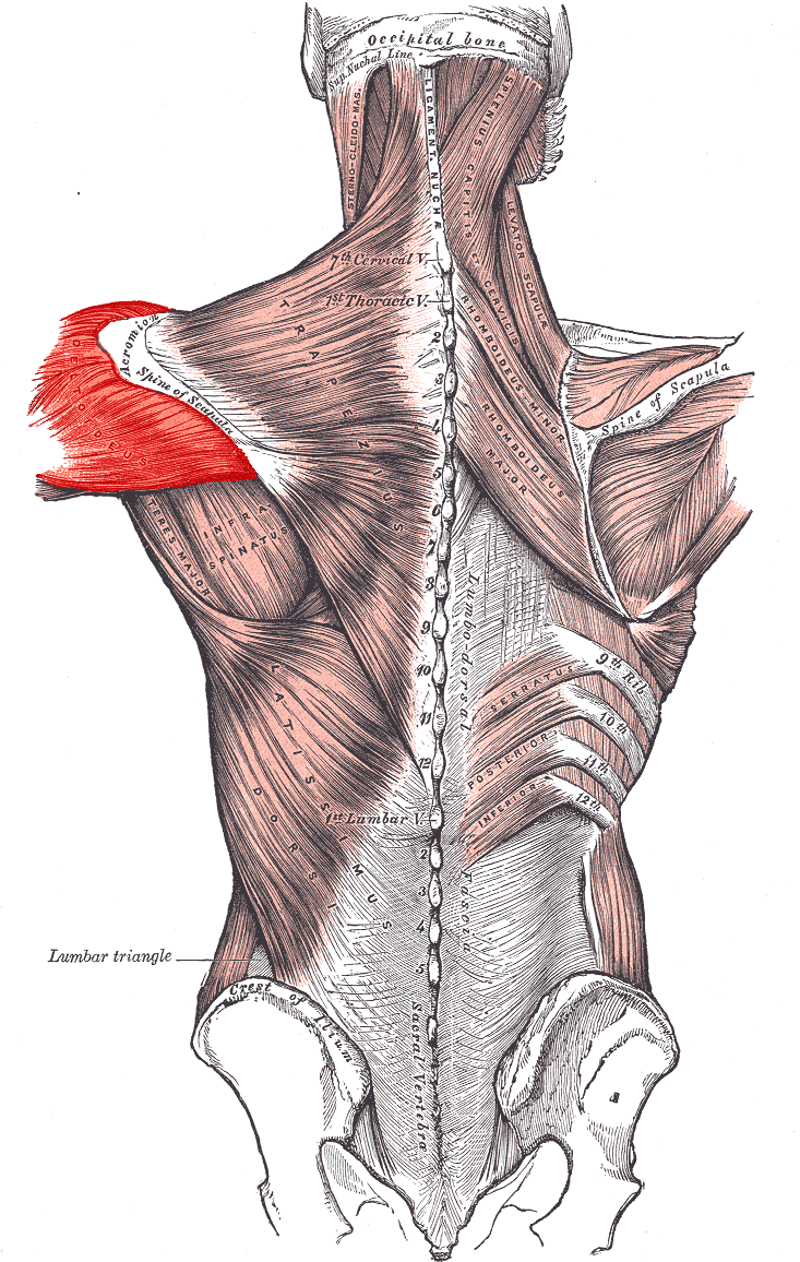 hight resolution of the posterior deltoid muscle