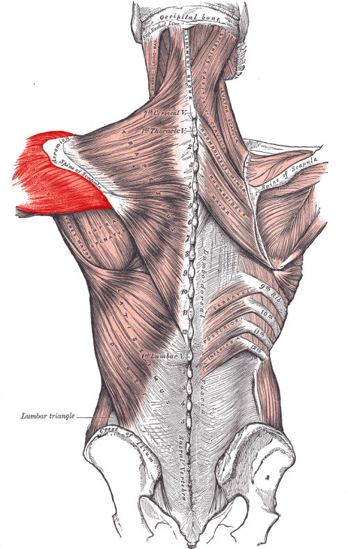 small resolution of the posterior deltoid muscle