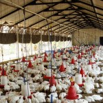 Poultry Farming Feasibility Study for Poultry Business Plan