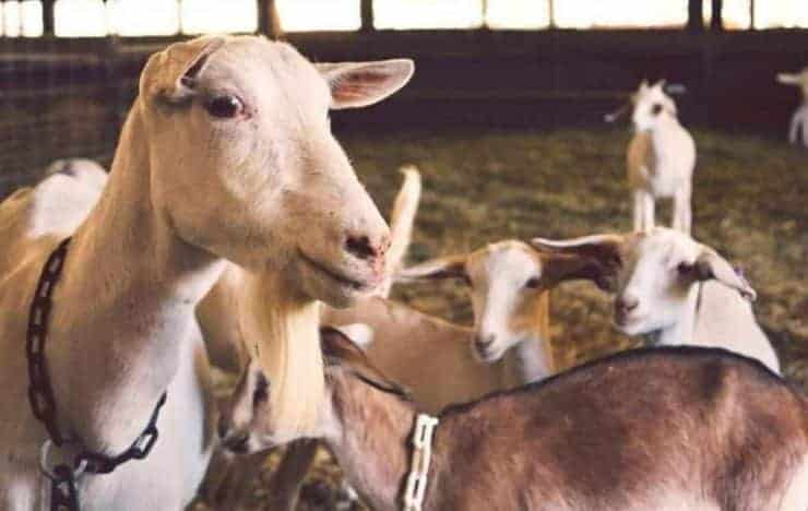 HOW TO START A GOAT REARING BUSINESS IN NIGERIA