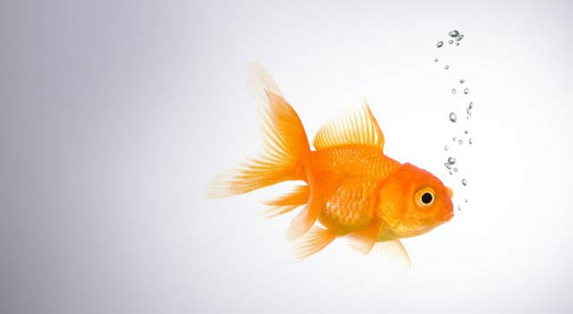 gold fish facts and