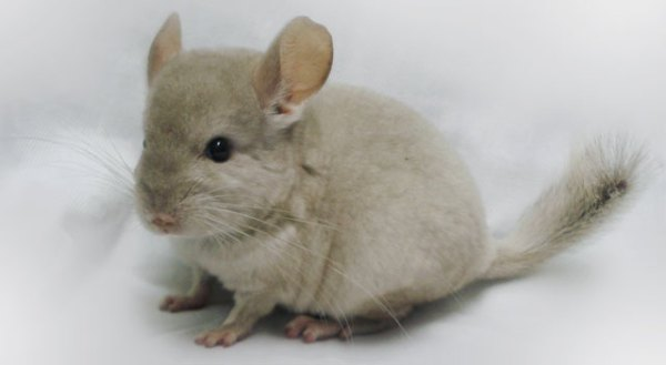 Chinchilla Facts Rodent Pictures Diet and Types