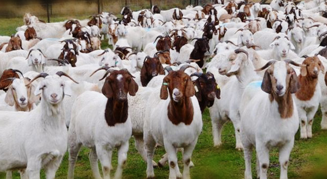 Image result for goat herd pictures