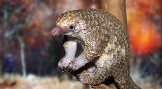 pangolin facts pictures and