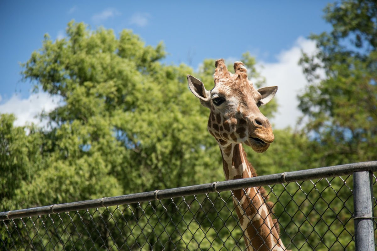 Giraffe looking over fence in Boise Zoo