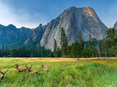 Elk sitting in front of Half Dome in Yosemite National Park