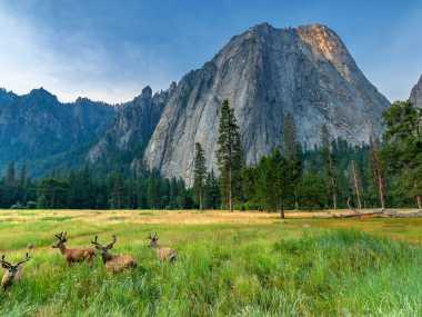 Elk sitting in front of Half Dome in Yosemite National Park