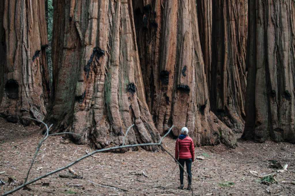 Giant Sequoa Trees at Sequoia national park