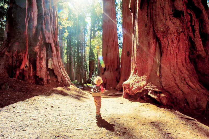 little boy walking through Giant tree forest
