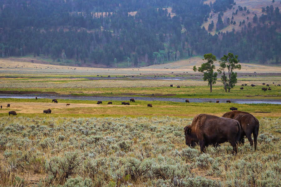 bison grazing in Lamar valley in Yellowstone National Park