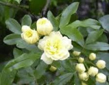 Kushta - SAUSSURIA LAPPA C B CLARKE - Ayurvedic Herb