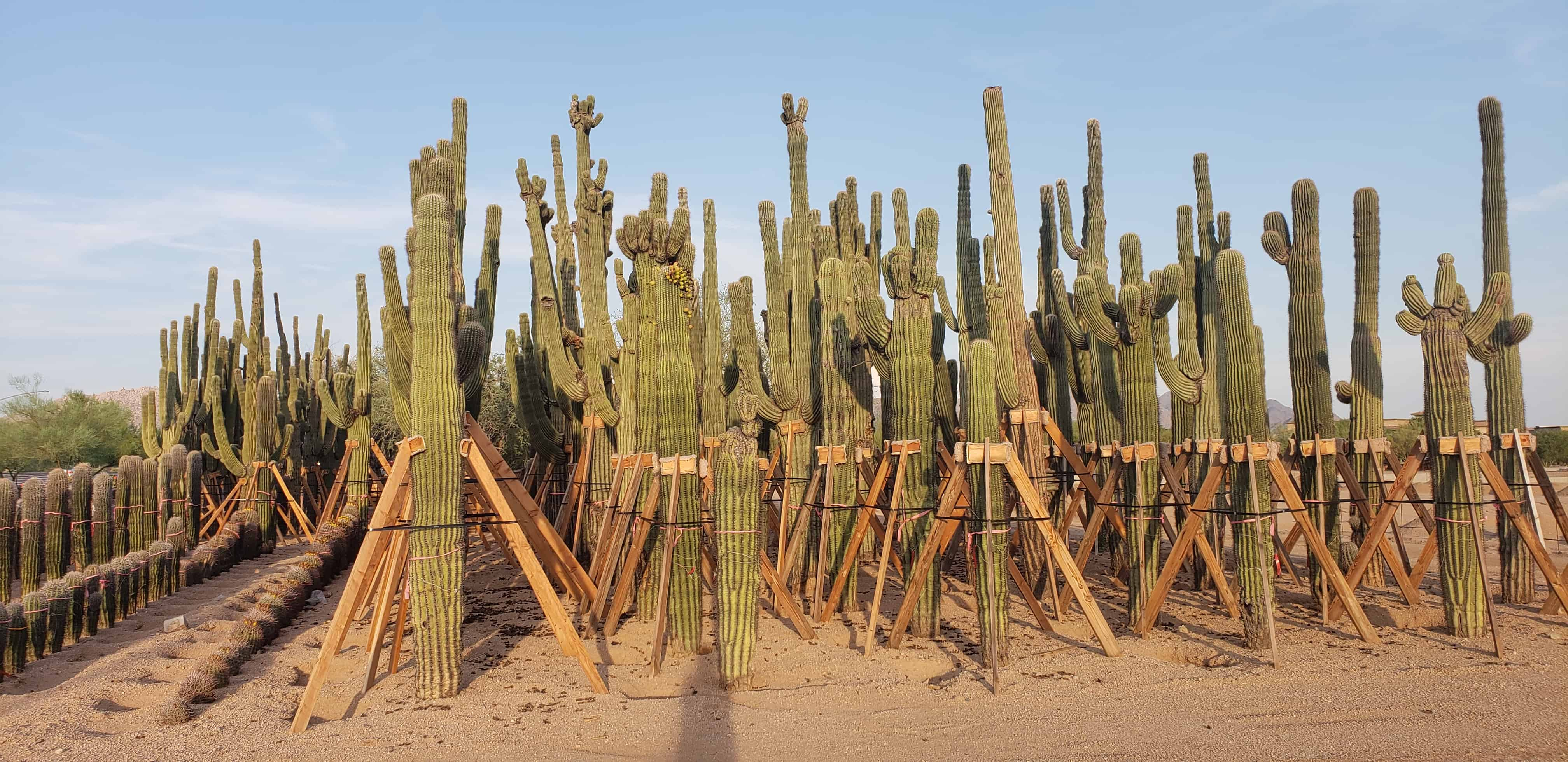 Saguaros in Scottsdale