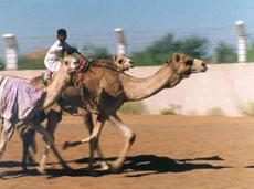 camel jockey