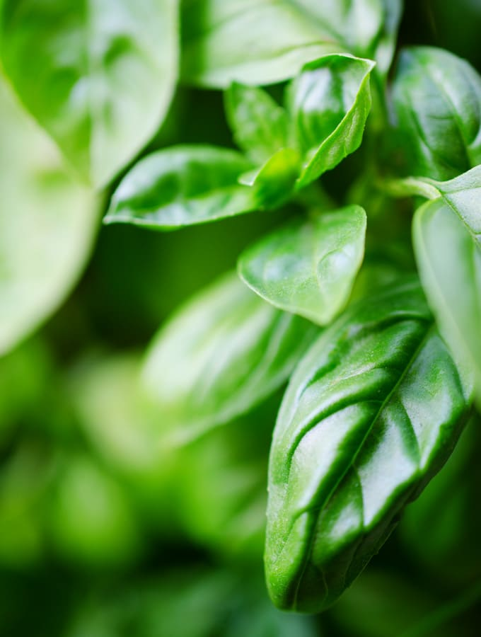 All About Bunches of Basil