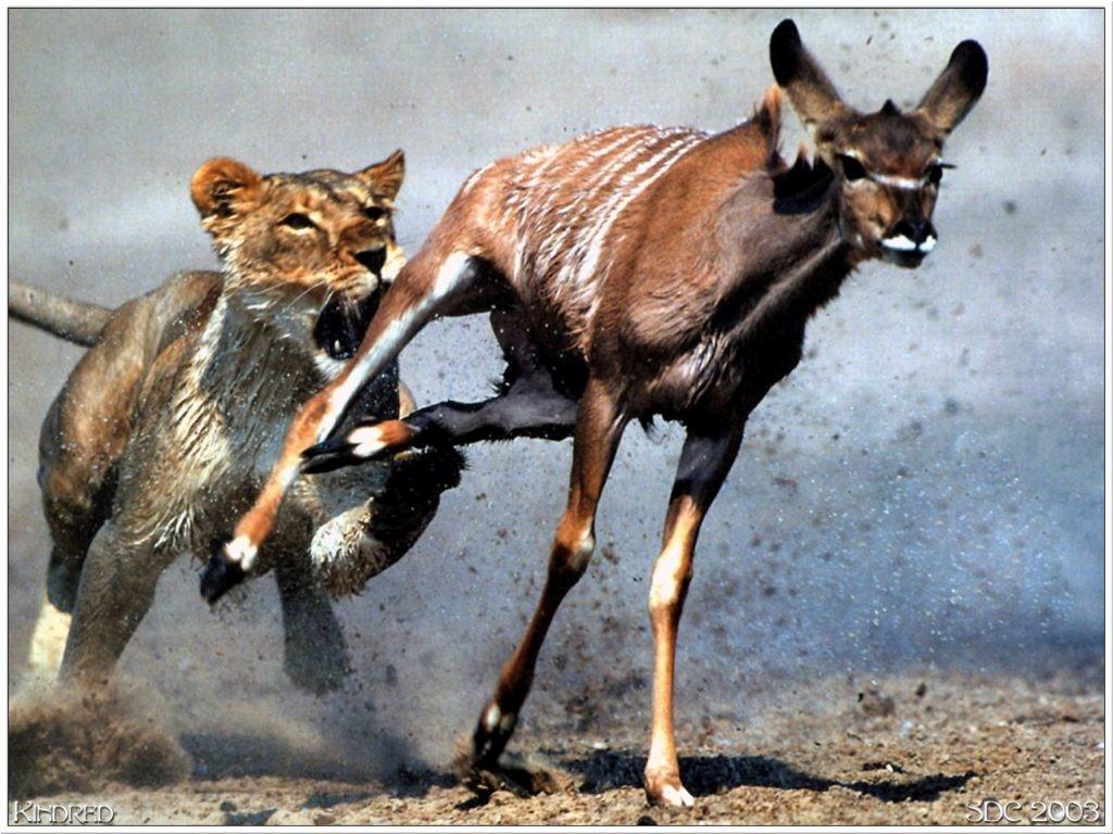 Gazelle Intense