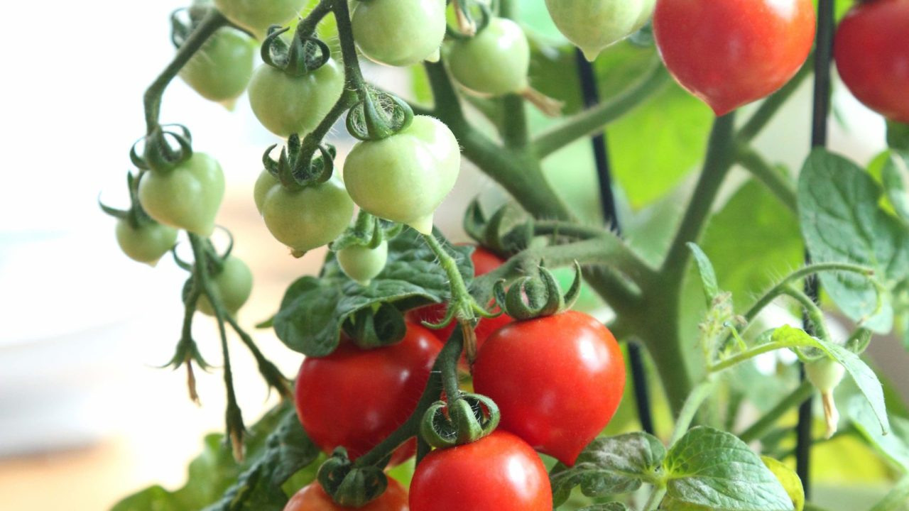 https://i0.wp.com/www.livehealthymag.com/wp-content/uploads/2020/08/cherry-tomatoes-scaled.jpg?resize=1280%2C720&ssl=1