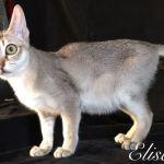 Il gatto più piccolo del mondo è alla 5^ edizione Felina di Longarone